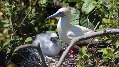 A Red-footed booby (Sula sula) sits with its young chick on a nest in a breeding colony on Half Moon Caye Natural Monument off the coast of Belize.