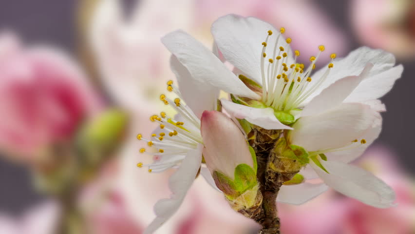 Macro tImelapse video of a apricot flower growing with a pink peach flower growing in the background/Apricot flower blossoming macro time lapse