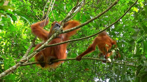 Female sumatran orangutan and baby sitting on tree branch against green foliage on background. Mother ape and her child resting in rainforest. Sumatra, Indonesia. Bottom view. Camera stays still.