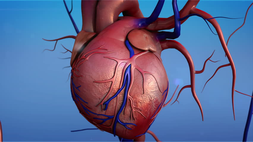 Human heart, Human heart model, Full clipping path included, Heart Anatomy, 4K animation of Human heart - 4K stock video clip