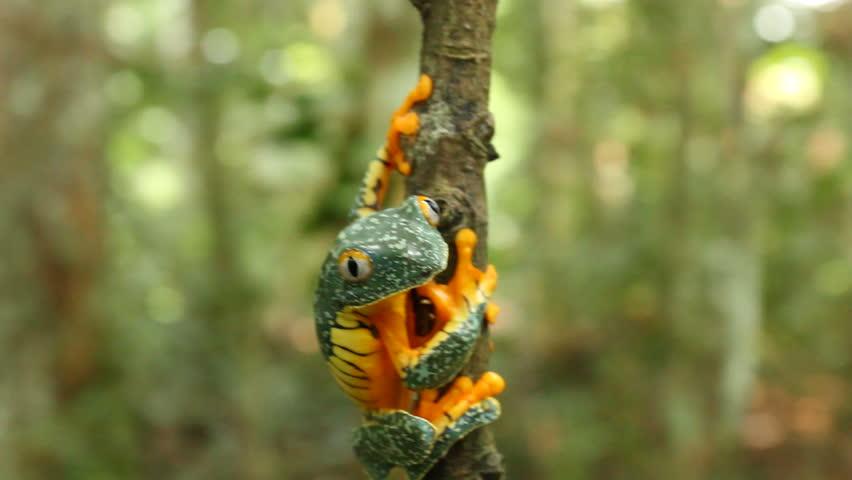 Amazon leaf frog (Cruziohyla craspedopus) Climbing up a branch with rainforest background.