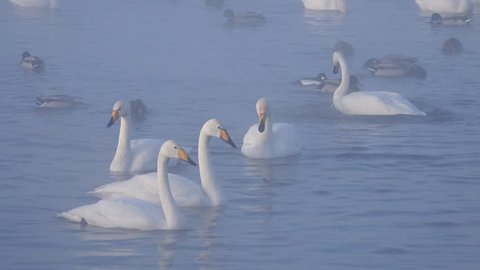 Swans Cygnus cygnus on Altai lake Svetloe in the evaporation mist  at evening time in winter