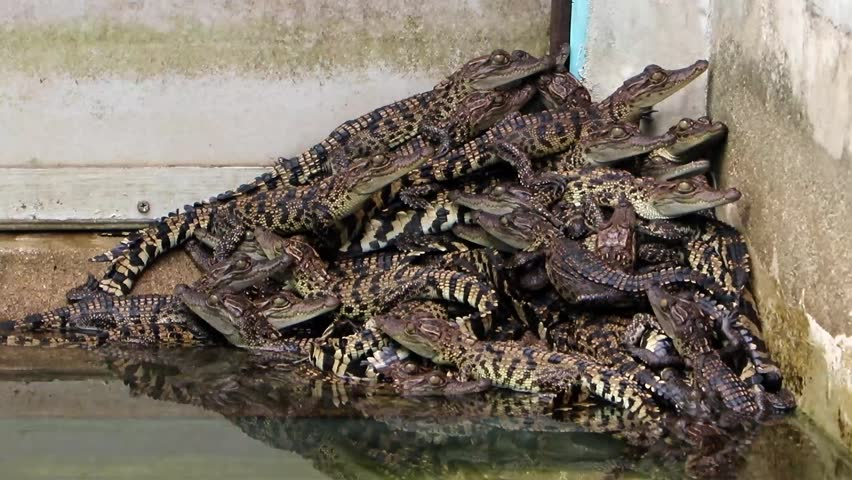 Young crocodiles crawling over each other in a pile in the pool. - HD stock video clip