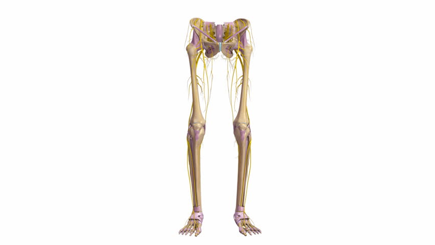 Stock video of bones of the lower limbs with | 24616097 | Shutterstock