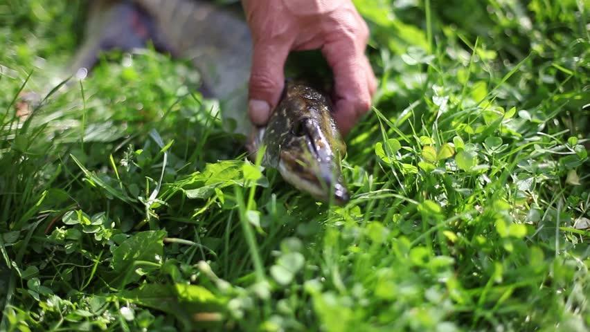 Header of pickerel