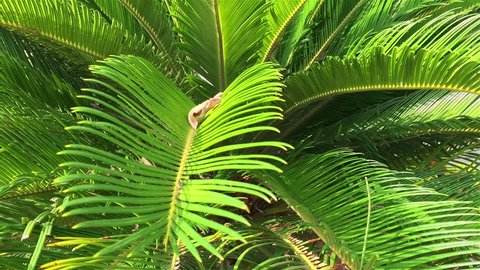 Sago Palm Close-Up