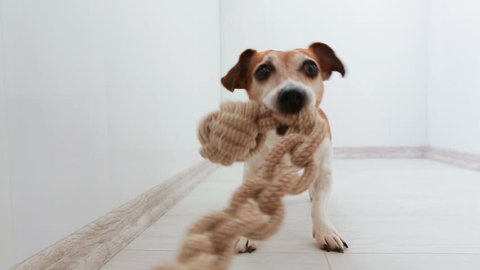 Pulling rope toy small dog playing with owner. Light interior sunny weekend funny moment.  view from owner hand. Video footage. Tug of War