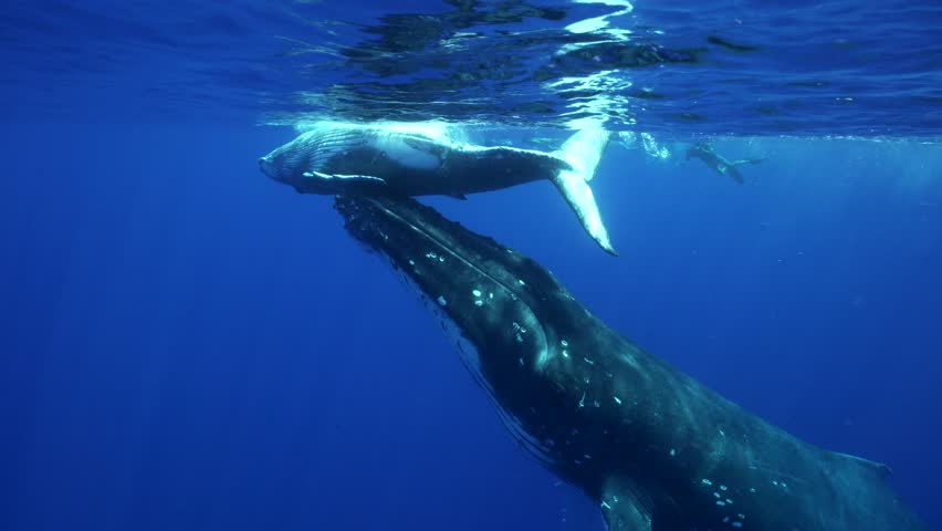 Humpback whales, mother and calf around the island of Tahiti