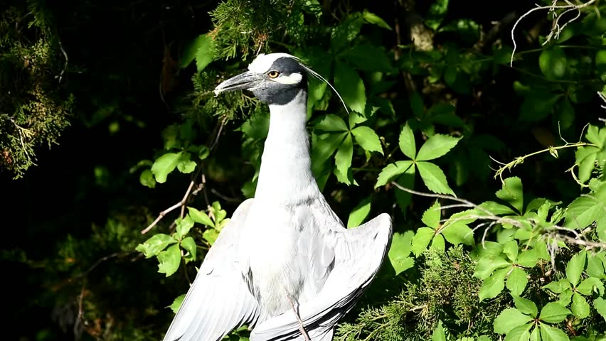 Header of yellow-crowned night heron