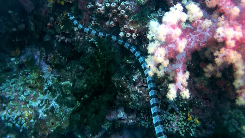 Black-banded Sea Krait or blue-lipped sea krait - Laticauda laticaudata, swims by coral reef, Oceania, Indonesia, Southeast Asia   Shutterstock HD Video #24635513