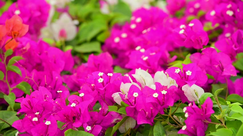 Bougainvillea - thorny ornamental bush with flower like spring leaves near its flowers