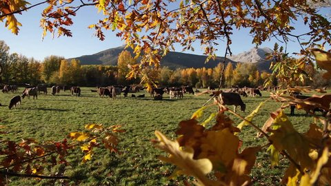 Brown  cows grazing on meadow surrounded by autumnal grove and mountains in the background. Framed between branches and oak leaves