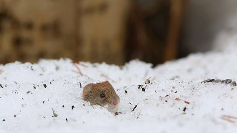 Common vole (Microtus arvalis) drags sunflower seeds in the hole