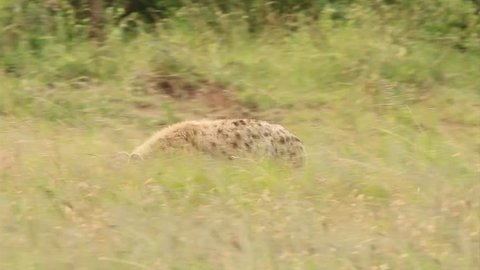 A WILD Spotted Hyena (Crocuta crocuta), also known as the Laughing Hyena or Tiger Wolf, walks the savanna and watches closely in Masai Mara, Kenya, Africa. It eventually rouses a second hyena awake.