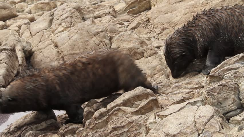 Two young puppy sea lions walking along rocky cliff, kaikoura, new zealand.