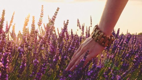 Close-up of woman's hand running through lavender field. Stabilized shot SLOW MOTION 120 fps. Girl's hand touching purple lavender flowers. Plateau du Valensole, Provence, South France, Europe.