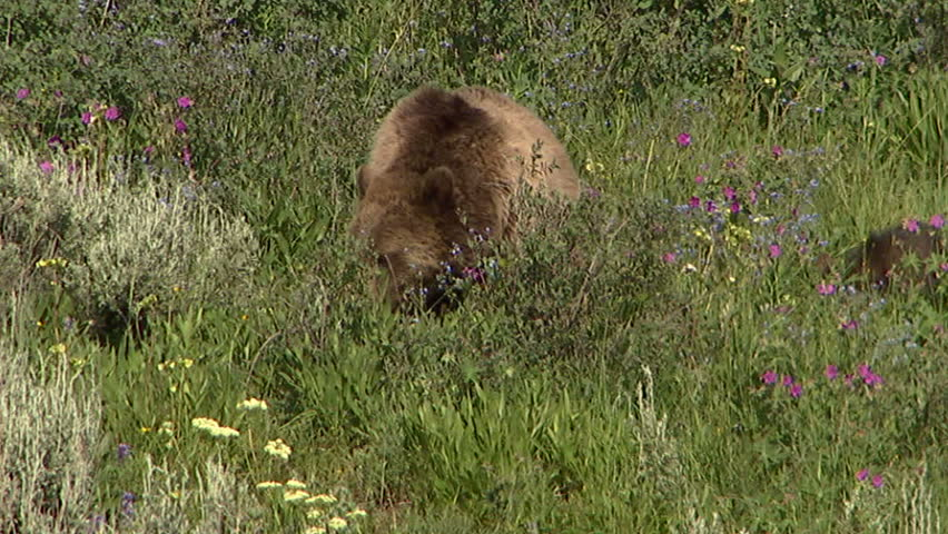 Grizzly sow and two cubs move through lush grass and wildflowers