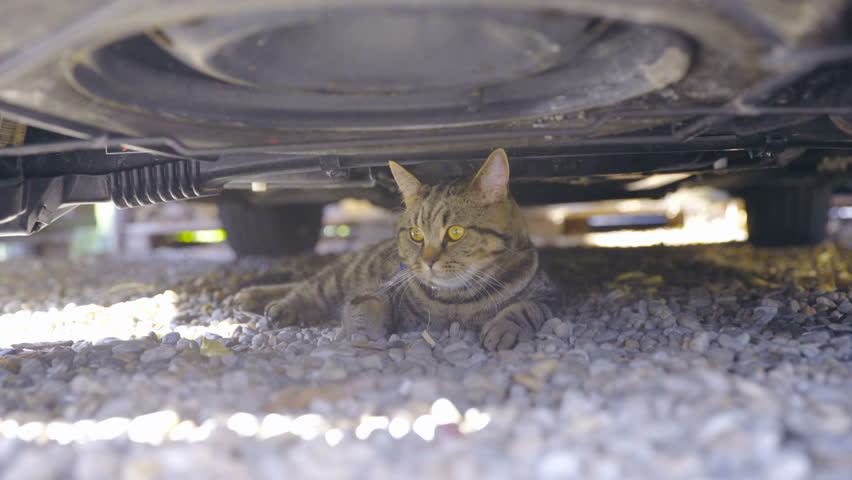 British cat hiding under car 4K. Slight dolly slide wide shot of big brown and black cat in focus lying calm under dirty car chassis. | Shutterstock HD Video #24924890