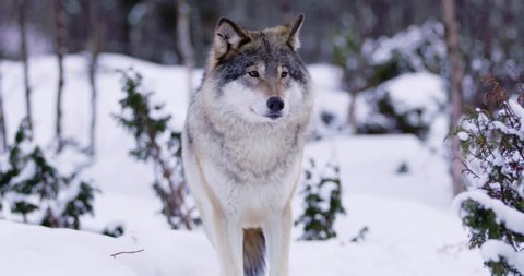 Magnificent wolf at a distance in beautiful winter forest