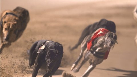 Dramatic close up of greyhounds racing around bend and cross side view in front of camera. High Speed shot.
