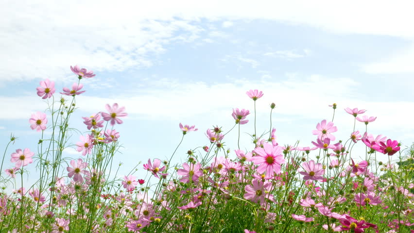 beautiful flower field Colorful ,cosmos flowers swaying  #25156715