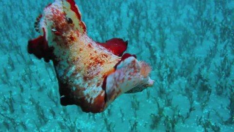 Spanish Dancer Nudibranch (Hexabranchus sanguineus) crawls on top of coral, maui, hawaii