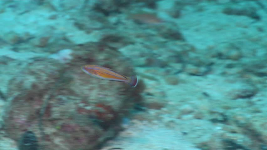 Unidentified flasher-wrasse (Paracheilinus sp. 2) swimming underwater in Solomon Islands