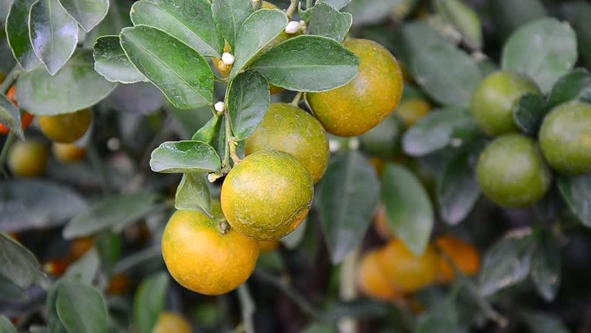 Lemon Lime Tree Stock Footage Video 100 Royalty Free 2528120 Shutterstock