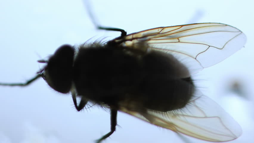 House Fly Insect Creeping by the Window Isolated on White Extreme Close up