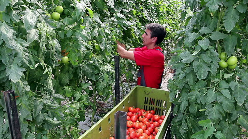 Harvesting tomatoes in a greenhouse. Freshly harvested tomato in worker's hands. Food industry. Agricultural production. Ripe tomato. Commercial greenhouse interior. Food production.  | Shutterstock HD Video #2529671