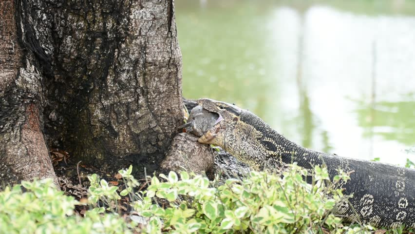 Lizard (Water monitor or Asian water monitor) is a large lizard is type reptile eating a fish at nature outdoor park