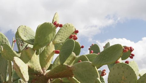 Fig cactus prickly pear with fruit Crete Greece
