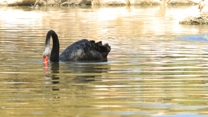 Black swan drinking water in the lake