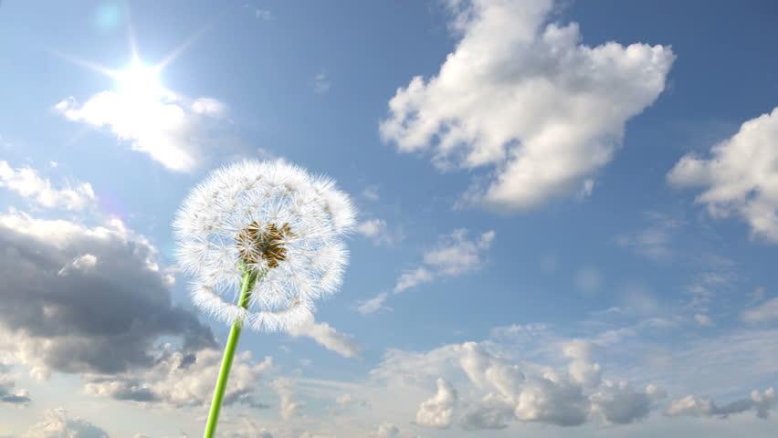 Dandelion, 3d animation against sky background (time-lapse)