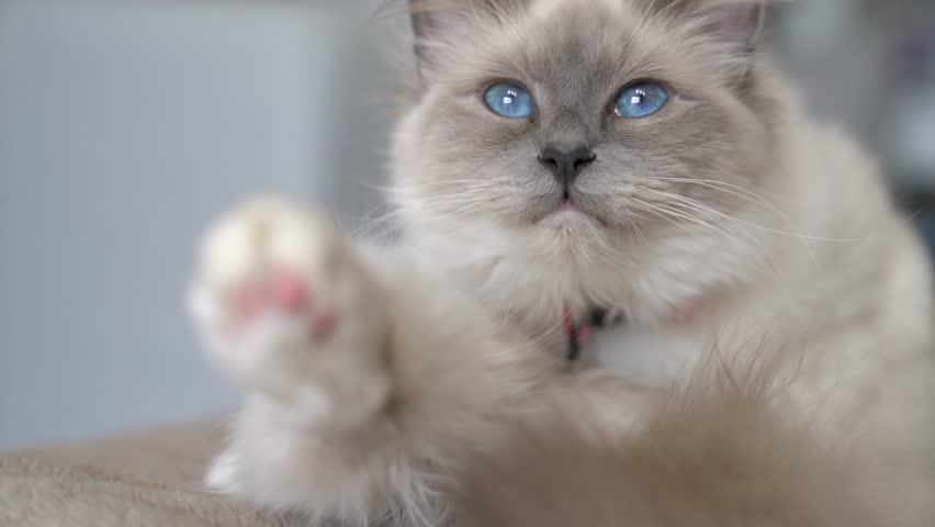Closeup of white cat, sacred Birman  | Shutterstock HD Video #25609730