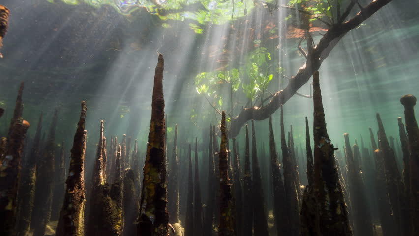 Underwater mangroves and fish