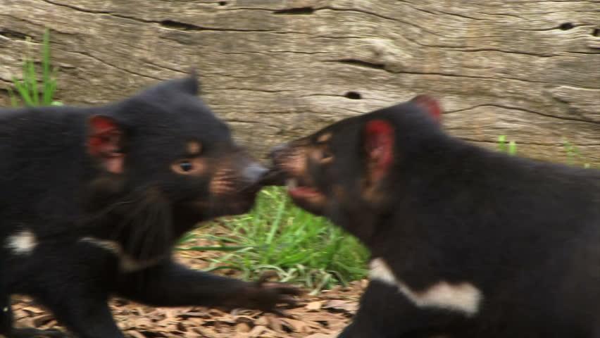 Header of Tasmanian Devil