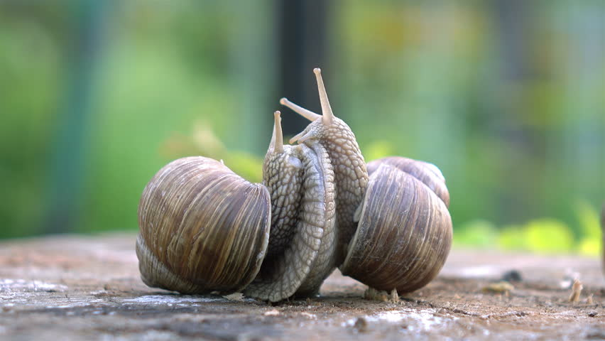 High quality video of snails love in 4K