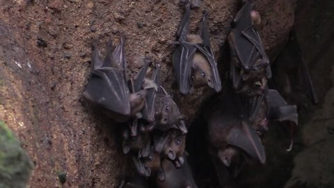 Fruit bats hanging in the cave on Bali island in Indonesia.