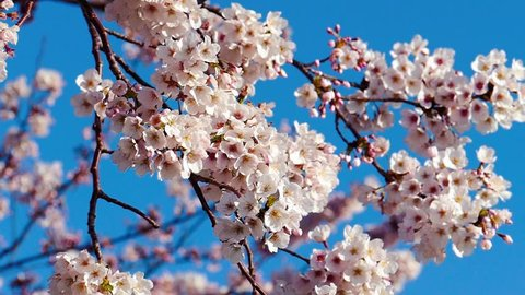 Slow motion of cherry blossoms on a cherry tree in Tokyo, Japan
