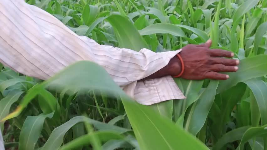 Farmer in sorghum crop field, rural village Salunkwadi, Ambajogai, Beed, Maharashtra, India, South East Asia.   Shutterstock HD Video #25705160