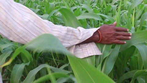 Farmer in sorghum crop field, rural village Salunkwadi, Ambajogai, Beed, Maharashtra, India, South East Asia.