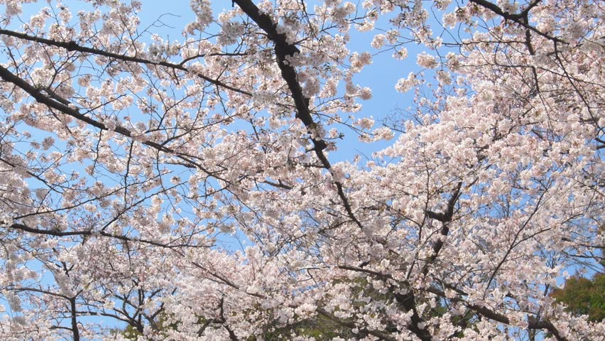 Cherry blossoms in full bloom against blue sky at Ueno park, Tokyo, Japan