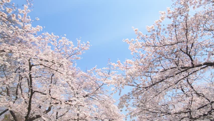 Walking through cherry blossoms in full bloom against blue sky at Ueno park, Tokyo, Japan