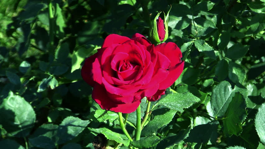 Red rose at the botanical gardens    Shutterstock HD Video #2576360
