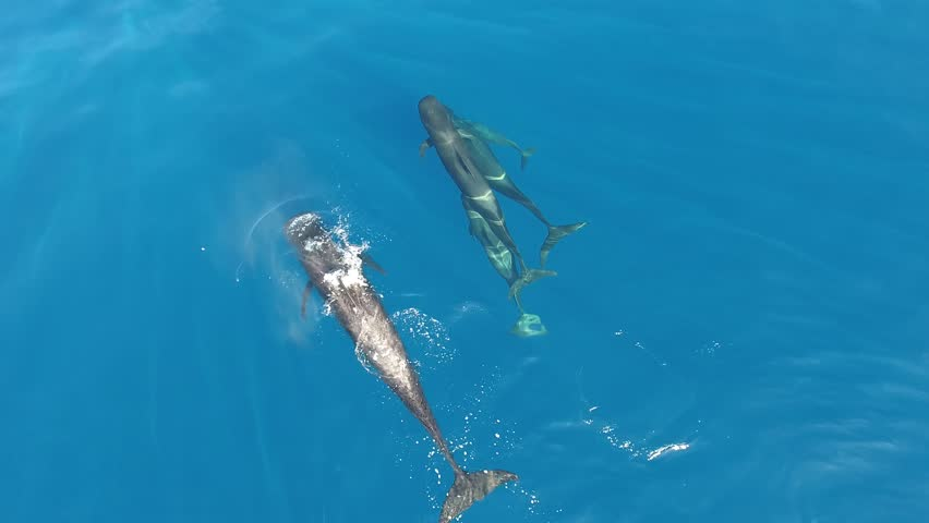4K Beautiful aerial of group Pilot Whales Family Swimming in athantic ocean. Short-finned pilot whales living in tropical and subtropical waters. They are very social animals and may travel in groups