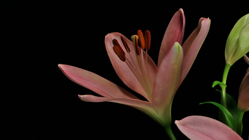 Medium close up motion time lapse shot revealing closed lily flower bulbs opening and blooming against a black background.