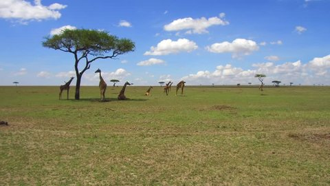 animal, nature and wildlife concept - group of giraffes in maasai mara national reserve savannah at africa