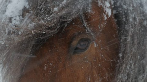 Close up of the eye of a horse that stand in the snowy wind in the winter of Iceland./Iceland - Horse in Wind and Snow Close Up