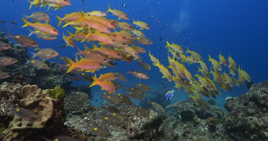 School of yellow goatfish in Similan island  Thailand